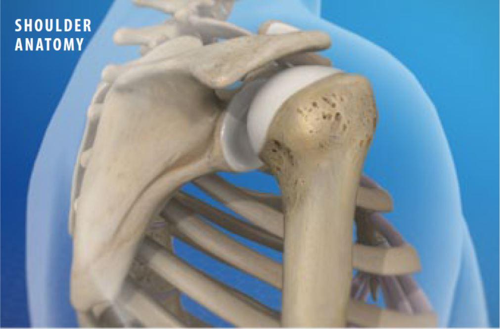 Anatomy Of The Shoulder 1 Main Line Spine